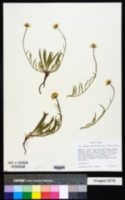 Erigeron eatonii image