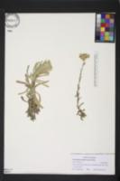Image of Pseudognaphalium sandwicensium
