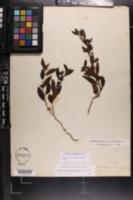 Crocanthemum canadense image