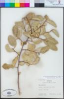 Image of Azara petiolaris