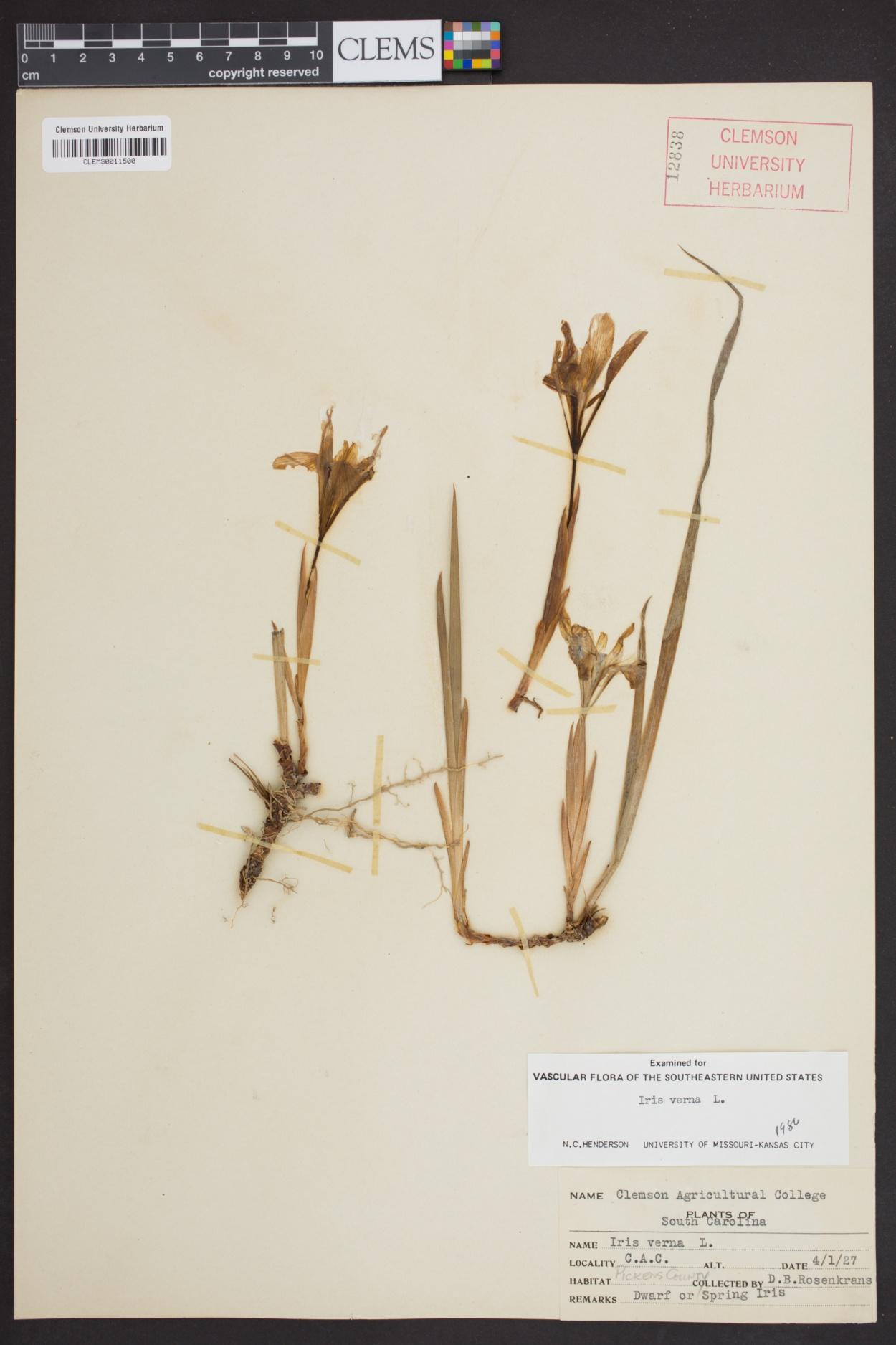 Iris verna image