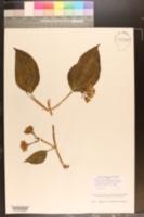 Mikania flabellata image