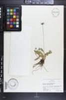 Eryngium ranunculoides image