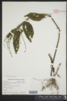 Verbena scabra image