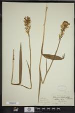 Platanthera blephariglottis image