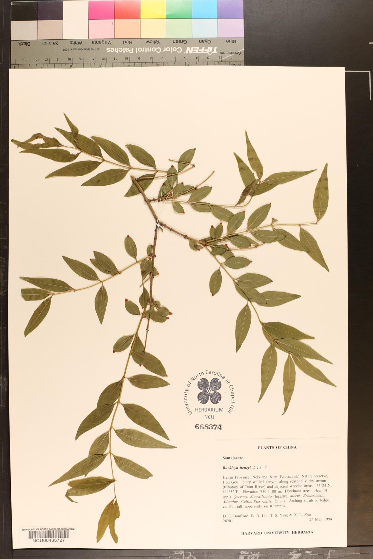Buckleya lanceolata image