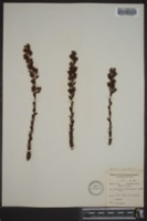 Monotropa hypopitys image