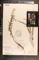 Image of Rhexia salicifolia