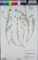 Acmispon procumbens image