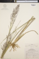 Image of Panicum stipitatum