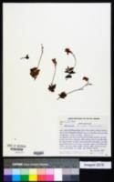Image of Mandevilla tenuifolia
