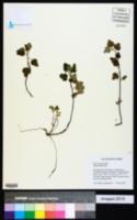 Image of Ribes hirtum