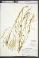 Rorippa nasturtium image