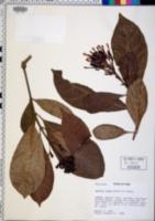 Image of Isertia rosea