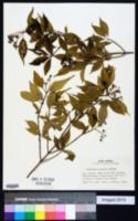 Image of Hydrangea serratifolia