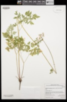 Ligusticum apiifolium image