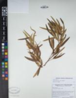 Searsia lancea image