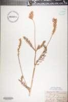 Onobrychis viciifolia image
