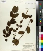 Image of Gouldia terminalis