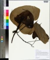 Image of Dioscorea sansibarensis