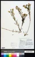Symphyotrichum hallii image