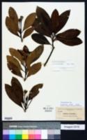 Gordonia lasianthus image