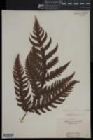 Tectaria gaudichaudii image
