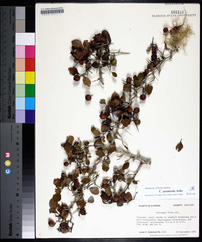 Crataegus arenicola image