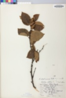Betula alleghaniensis image