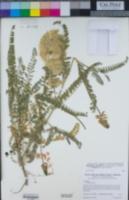 Astragalus nuttallii var. virgatus image