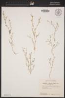 Allophyllum violaceum image