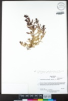 Chloropyron palmatum image