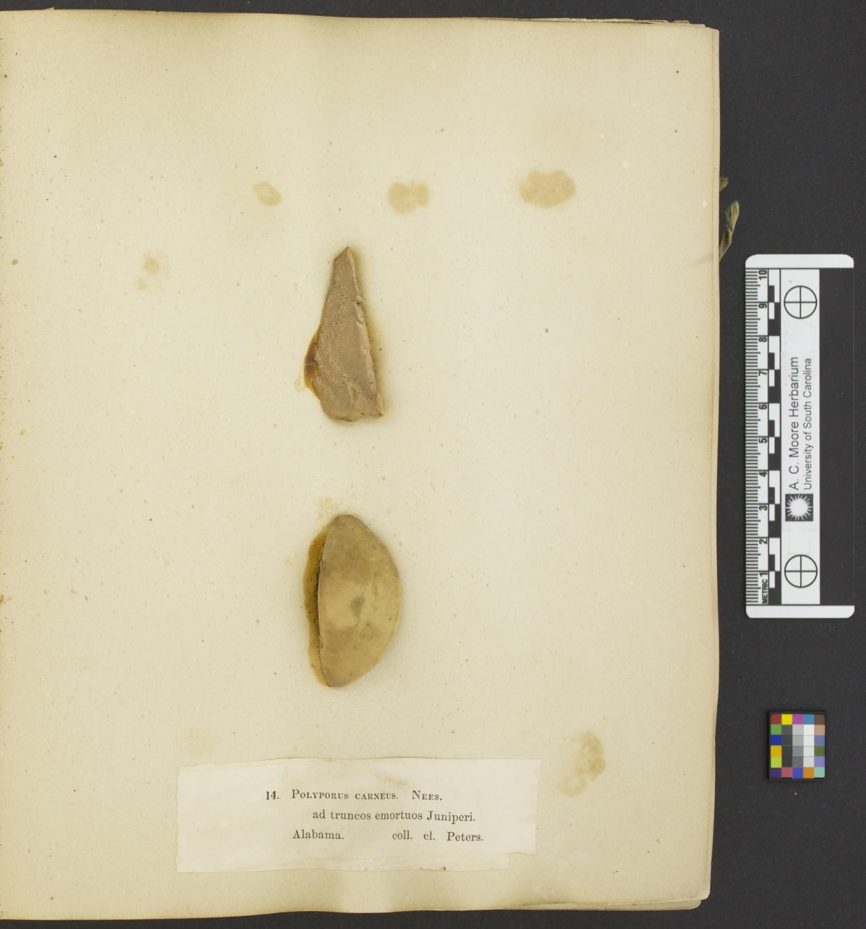 Polyporus carneus image