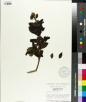 Image of Vernonia pluvialis