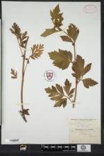 Geum laciniatum var. trichocarpum image