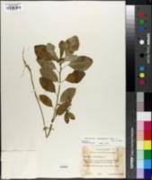 Euphorbia cyathophora image