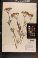 Eriogonum lancifolium image