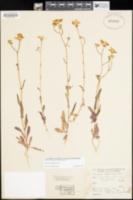 Senecio californicus image