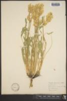 Image of Astragalus saximontanus