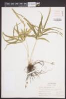 Pteris multifida image