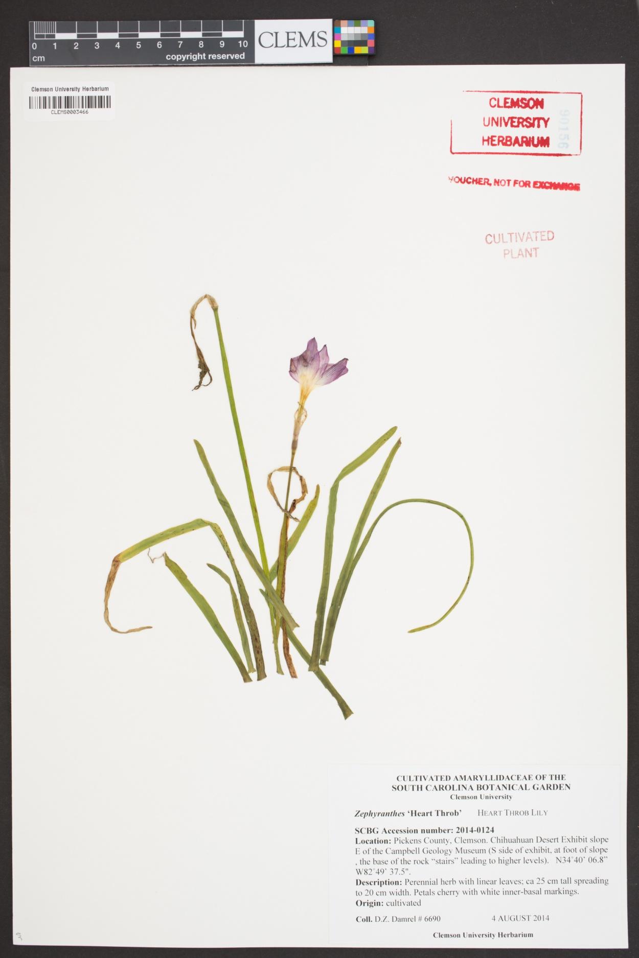 Zephyranthes image
