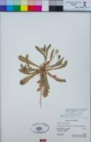 Hedypnois rhagadioloides image