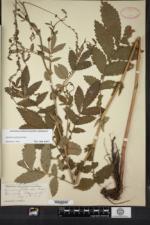 Image of Agrimonia platycarpa