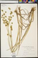 Juncus crassifolius image