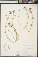Sherardia arvensis image