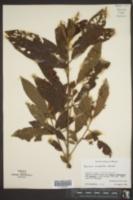 Saurauia oreophila image