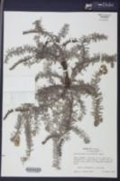 Image of Heliotropium horizontale