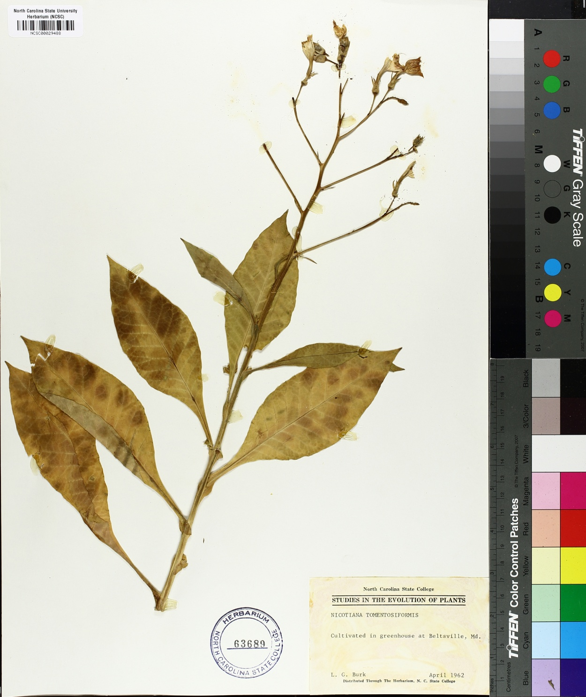 Nicotiana tomentosiformis image