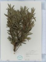 Image of Podocarpus elongatus