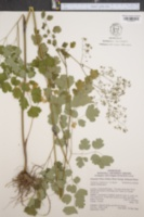 Image of Thalictrum steeleanum